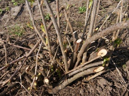 Обрезка взрослого куста смородины на зиму