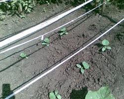 китайские огурцы выращивание