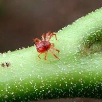 как бороться с паутинным клещом