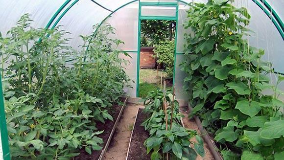 посадить вместе помидоры и баклажаны