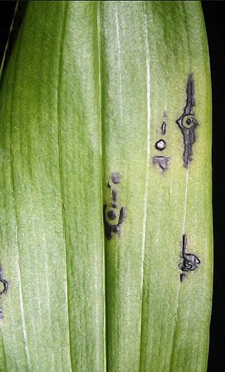 Мозаика цимбидиума орхидей