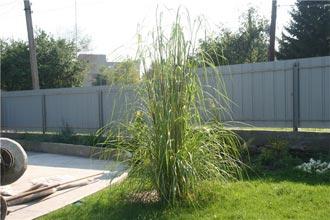 пампасная трава