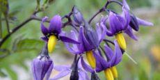 цветы паслена сладко-горького