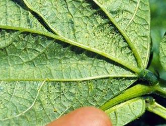 Точки на нижней части листьев от паутинного клеща
