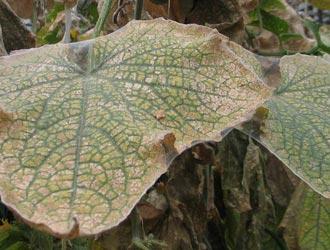 Обесцвеченные участки листьев на огурцах от паутинного клеща