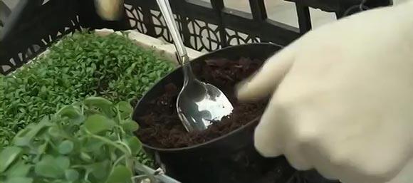 Земля для выращивания рассады помидор в пеленке