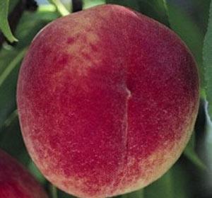 сорт персика Кардинал