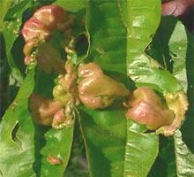 кучерявость листвы персика