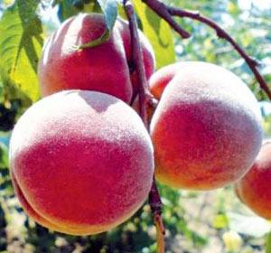 сорт персика Редхейвен