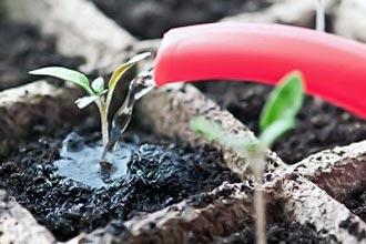 как поливать рассаду помидор после пикировки