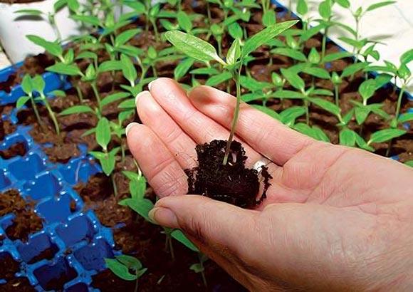 снизу росток томата берется за ком земли, в котором находится корень