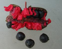 размножение семенами древовидного пиона