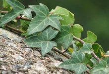плющ - польза или вред для огорода