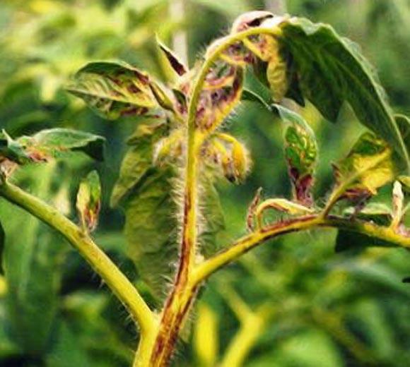 Почернение плодов и верхушки стеблей помидоров