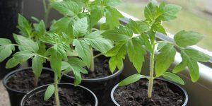 грунт для рассады помидоров
