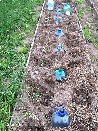 полив помидор через пластиковые бутылки