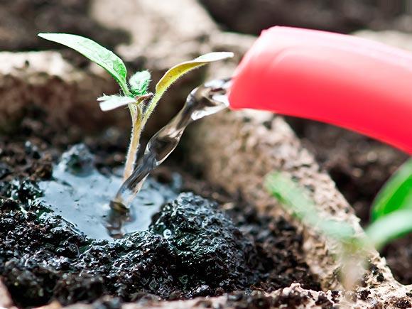 поливаем рассаду помидор