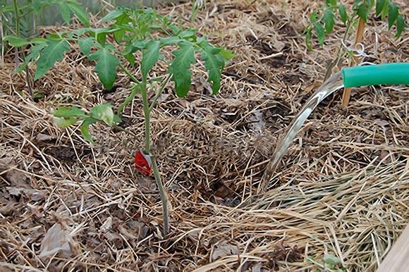 Лучше поливать томат под корень