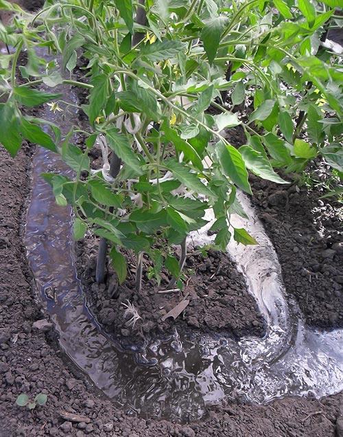 следует поливать помидоры по бороздам