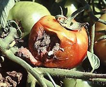 серая гниль на помидорах