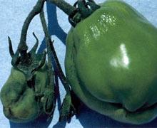 Столбур на помидорах