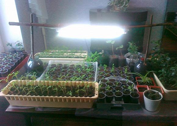 подсветка рассады помидор