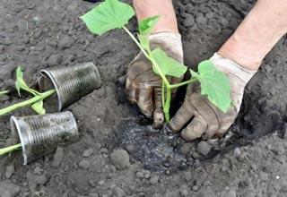 посадка пучковых огурцов рассадой в открытый грунт