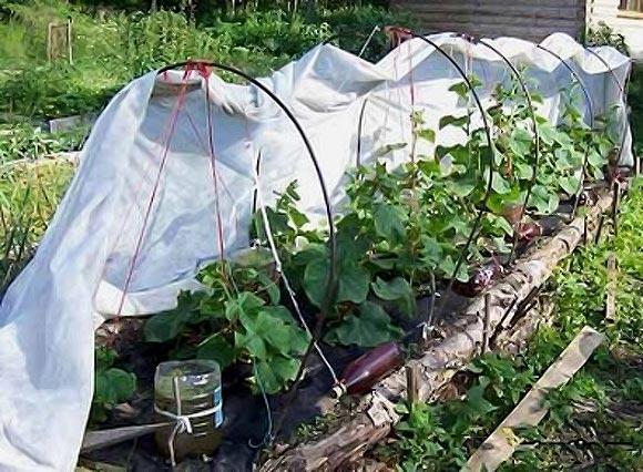 выращивание пучковых огурцов