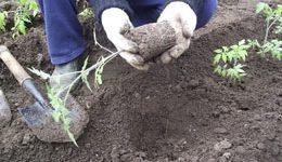 когда садить рассаду помидор