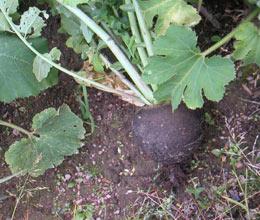 Выращивание черной редьки