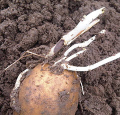 Загнивание глазков картофеля
