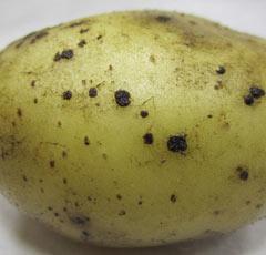 Черная парша картофеля