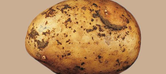 ризоктониоз картофеля