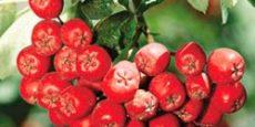 ягоды рябины полезные свойства