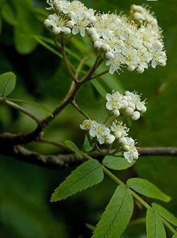 полезные свойства листьев и цветов красной рябины