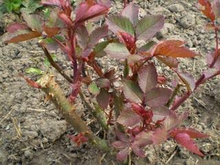 посадка роз весной черенками