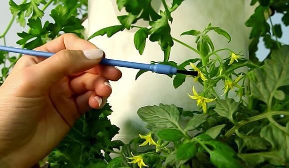опыление томатов вручную