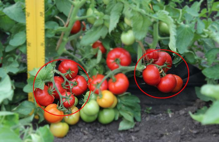 для получения семян следует брать плоды, располагающиеся на самой первой нижней кисти