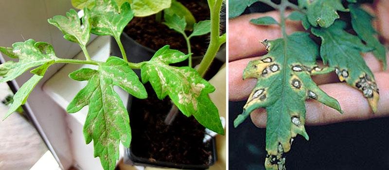 Септориоз рассады томата