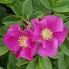 цветы шиповника полезные свойства