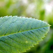листья шиповника полезные свойства