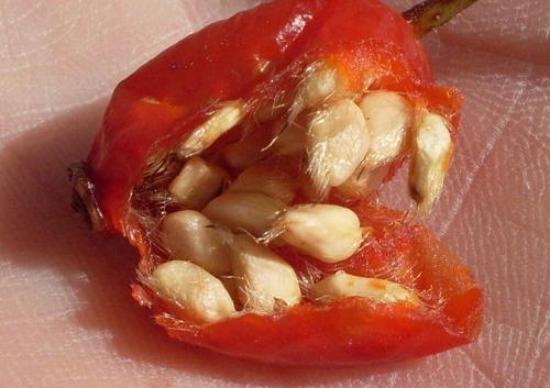 размножение шиповника семенами