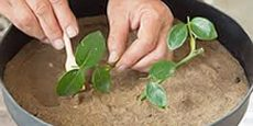 как вырастить шиповник из ветки