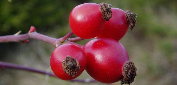плоды шиповника полезные свойства