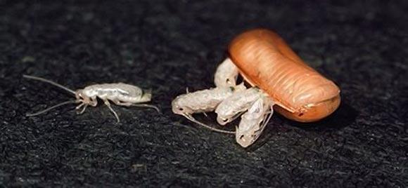 личинки таракана