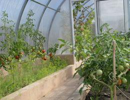 как выращивают томаты в теплице