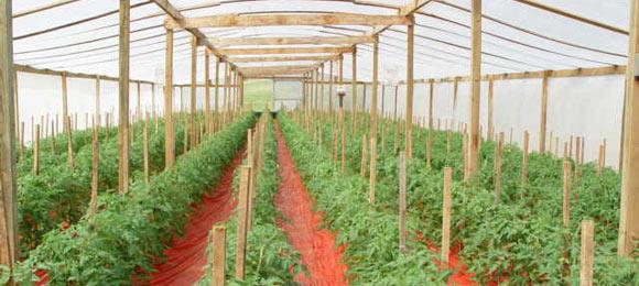 выращивание помидоров в теплице