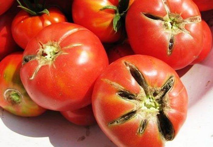 образование трещин на томатах