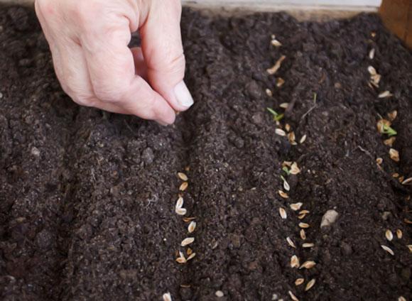 размножение туи брабант семенами