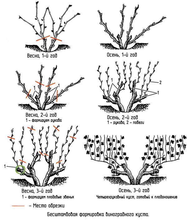 обрезка винограда весной схема